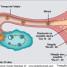 Sintomas da nidação: quais são e quanto ocorre a nidação